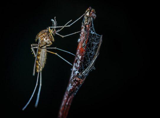 Con muỗi